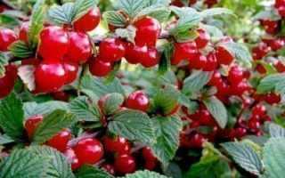 Выращивание войлочной вишни сорта натали