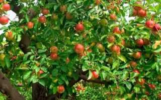 Почему не плодоносит яблоня что делать
