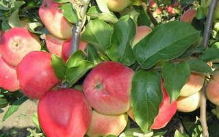 Сорт яблони кандиль орловский описание фото