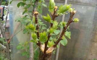 Прививка яблонь весной на урале