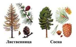 Все отличия лиственницы от хвойных растений
