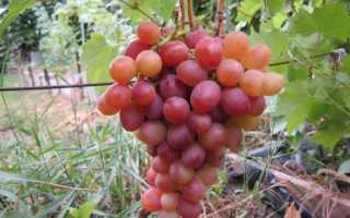 Особенности винограда ливия