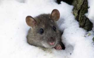 Как защитить виноград зимой избавляемся от мышей
