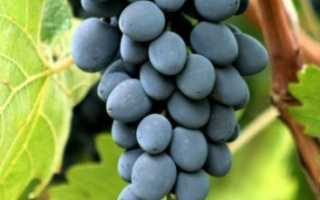 Характеристики винограда молдова