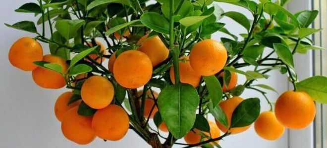 Особенности выращивания комнатных цитрусовых