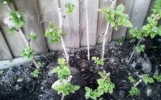 Как посадить малину правильно осенью