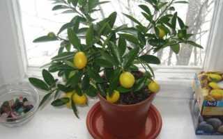 Выращивание лимона из черенка в домашних условиях