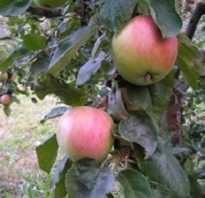 Элитная яблоня солнышко описание фото