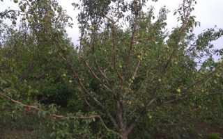 Персик золотой юбилей описание сорта