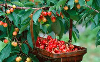 Выращивание самоплодных сортов черешни