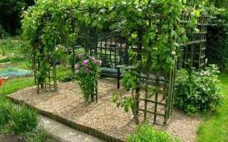 Виноградный сорт софия