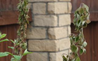 Высыхание веток после цветения у войлочной вишни