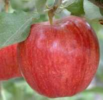 Разновидности яблок гала