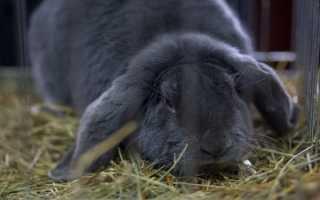 Содержание кроликов великанов