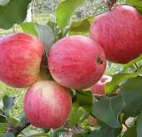 Выращивание яблони аркадик
