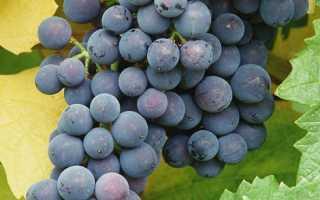 Описание сорта винограда северный сладкий