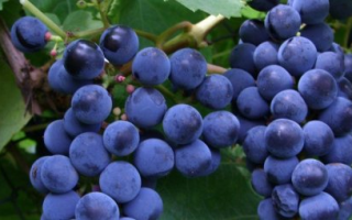 Секреты посадки и ухода за виноградом черныш