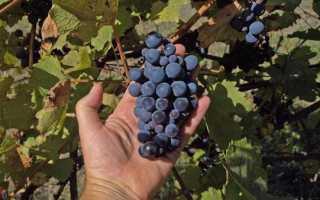 Обрезка запущенного винограда изабелла весной