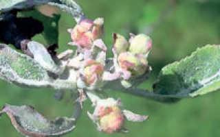 Мучнистая роса на яблоне как бороться