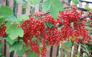 Смородина красная сахарная описание сорта