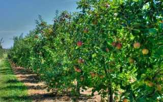 С какими деревьями можно сажать яблоню