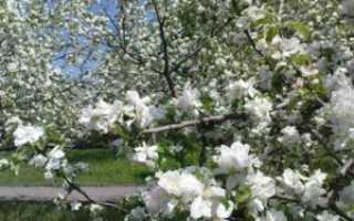 Уход за яблоней ранней весной