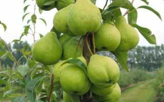 Характеристика и особенности груши августовская роса