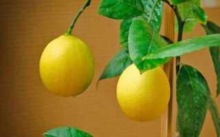 Уход за павловским лимоном