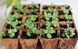 Клубника из семян выращивание дачные хитрости по уходу