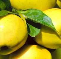 Зимние сорта яблок семиренко антоновка голден джонатан и др