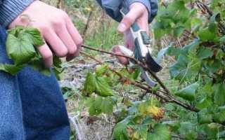 Осенняя обрезка черной смородины
