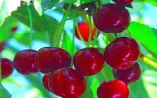 Вишня гриот белорусский описание сорта