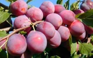 Выращивание сливы деликатесной