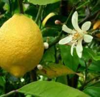Как посадить лимон из черенка
