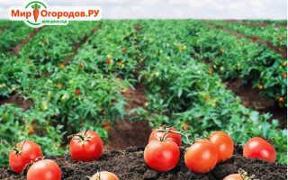 Малиновые сорта томатов для открытого грунта