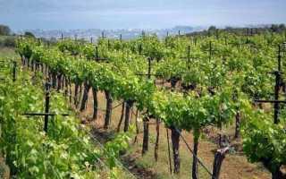 Как вырастить ягоды в органическом винограднике