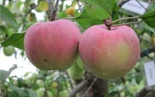 Сортовая характеристика яблони орловский пионер