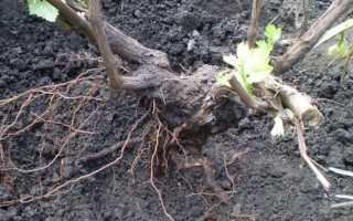Когда лучше пересаживать виноград весной или осенью