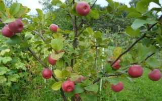 Яблоня ауксис секреты выращивания прихотливого сорта