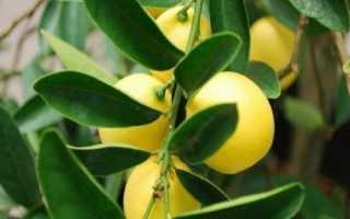 Выращивание лимонеллы дома