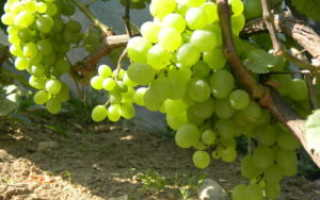 Время обрезки винограда осенью