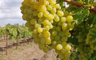 Как выращивать виноград 10 советов начинающему виноградарю