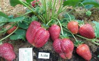 Клубника азия описание сорта фото отзывы садоводов