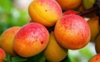 Особенности абрикоса восторг