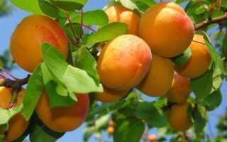 Разведение абрикоса хабаровский