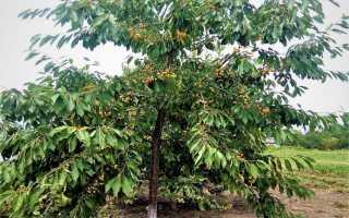 Эффективные приспособления для сбора вишни