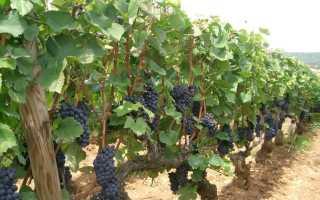 Пасодобль фунгицид для винограда