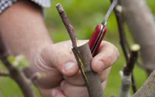 Прививаем на рябину плодовые деревья