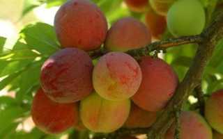 Характеристика персиковой сливы