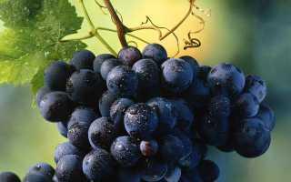 В чем достоинства и недостатки синих сортов винограда